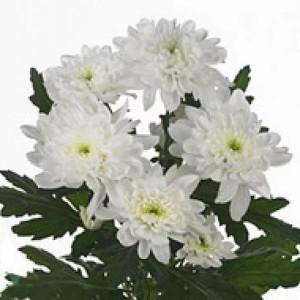 Хризантеа кустовая белая