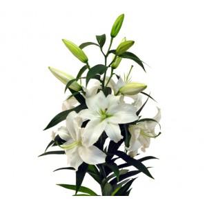 Лилия белая Сибирь