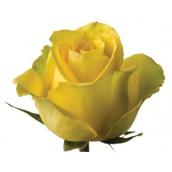 Роза Бикини