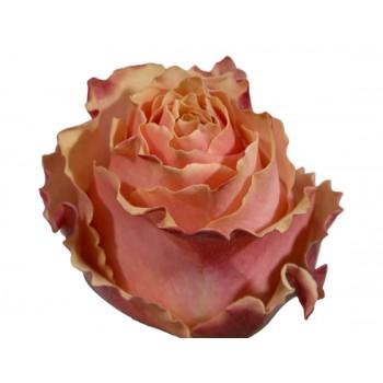 Роза Карпе Дием