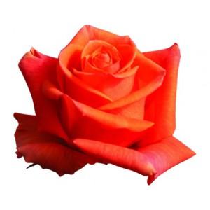 Роза Кайен