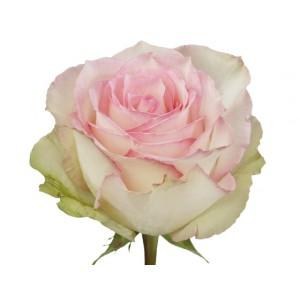 Роза Эсперансе