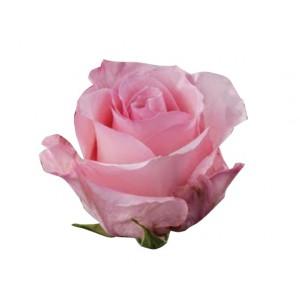 Роза Хай Бонита