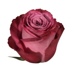 Роза Моди Блю