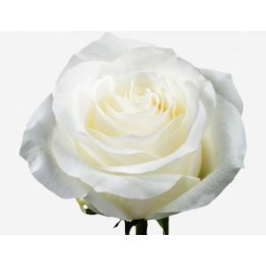 Роза Проуд