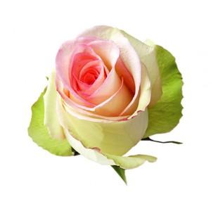 Роза Сильвия